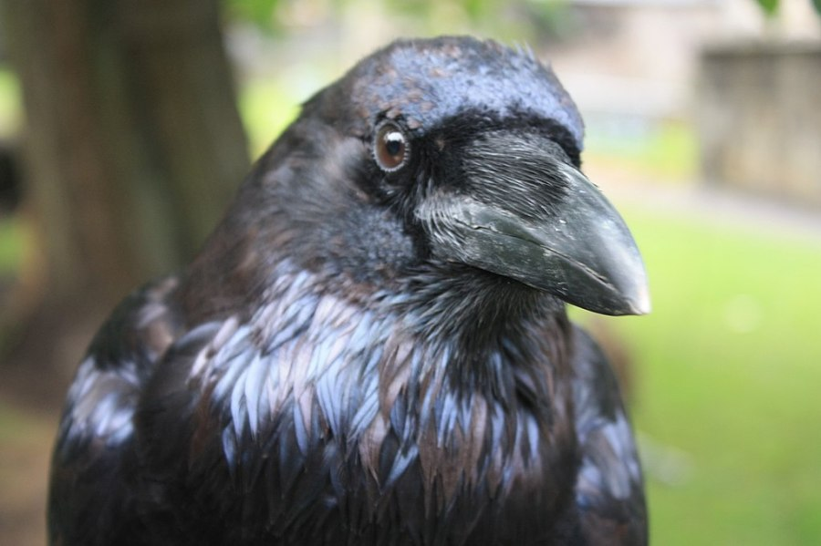 1024px-Head_of_Raven